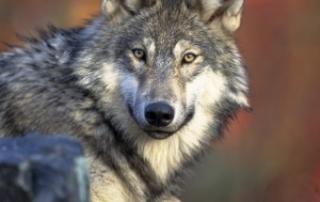 סיפור שמאני על שני זאבים בוידיאו